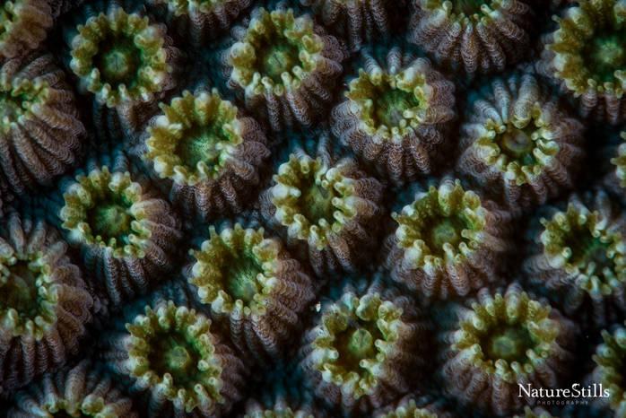 Hard Coral Polyps