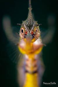 Weedy Sea Dragon (Phyllopteryx taeniolatus)