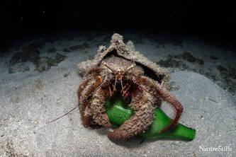 "A very ""Cruzan"" Hermit crab"