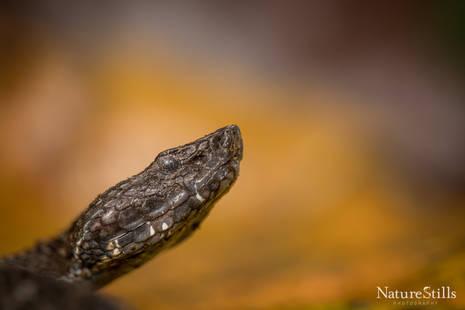 Campbell's Toadheaded Viper (Bothrocophias campbelli).jpg