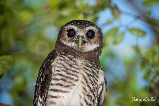 White-browed Hawk-owl (Ninox superciliaris)