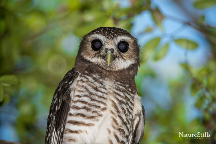 White-browed Hawk-owl (Ninox superciliaris)