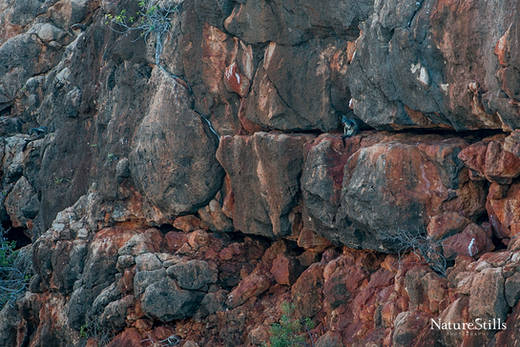 Black-flanked Rock-Wallaby (Petrogale lateralis)