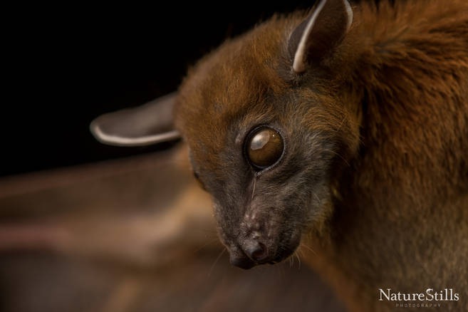 Greater Short-nosed Fruit Bat (Cynopterus sphinx).jpg