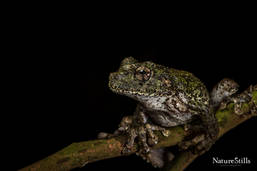Jamaican Snoring Frog (Osteopilus crucialis)