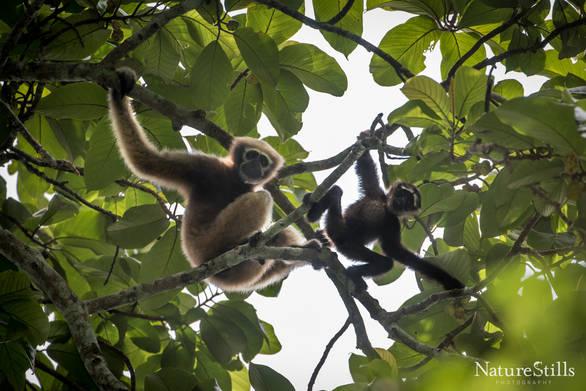Western Hoolook Gibbon (Hoolook hoolook).jpg