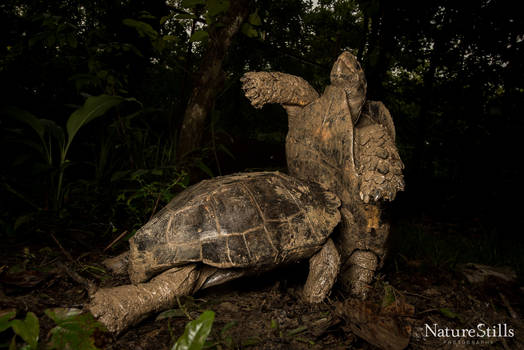 Asian Giant Tortoises (Manouria emys) Fighting