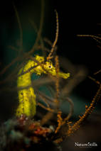 Tiger Tail Seahorse (Hippocampus comes)