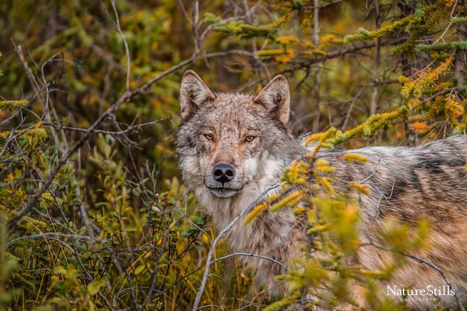 Yukon Wolf (Canis lupus pambasileus)