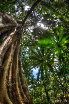 Bangladeshi Ficus