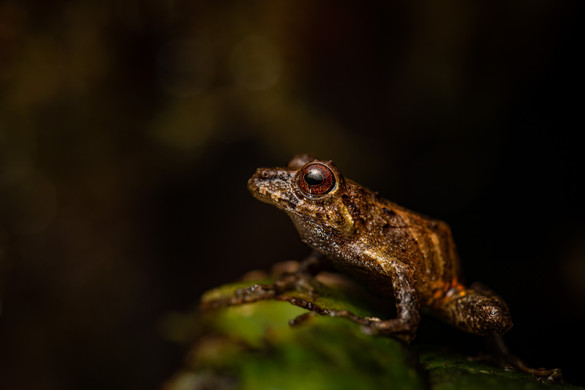 Possible new frog species