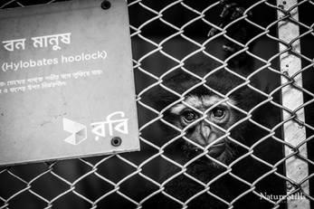 Captive Hoolock Gibbon (Hoolock hoolock)
