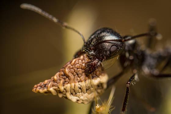 Black Harvester Ant (Veromessor pergande