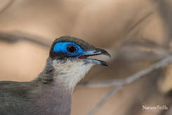 Red-capped Coua (Coua ruficeps)
