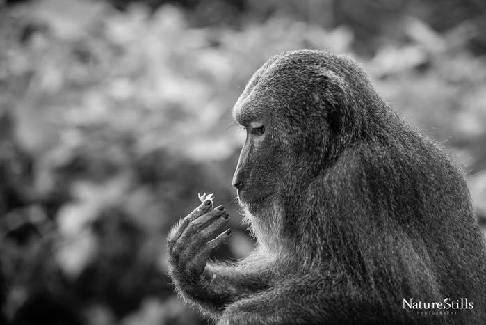 Bear Macaque (Macaca arctoides)
