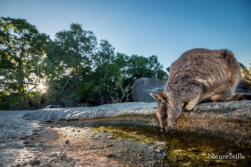 Mareeba Rock-wallaby (Petrogale mareeba)