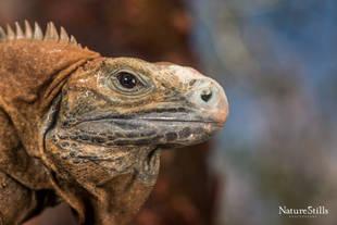 Jamaican Iguana (Cyclura collei)
