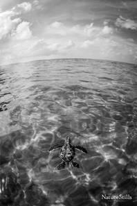 Hatchling Green Sea Turtle (Chelonia mydas)