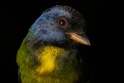 Moss-backed Tanager.jpg