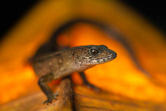 Andinosaura cf. oculata-2.jpg