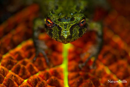 Porvenir robber frog (Pristimantis crucifer)