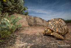 Indian Star Tortoise (Geochelone elegans)