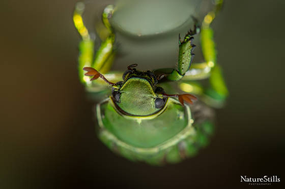 Glorious Beetle (Plusiotis gloriosa).jpg