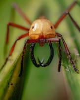 Army Ant (Eciton sp.).jpg