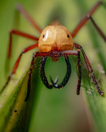Army Ant (Eciton sp.).jpg