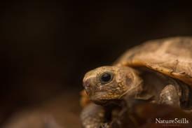 Elongated Tortoise (Indotestudo elongata).jpg