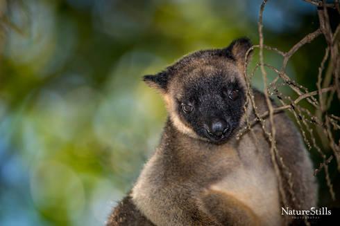 Lumholtz's Tree-Kangaroo (Dendrolagus lumholtzi)