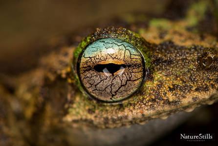 Kuranda Tree Frog (Litoria myola)