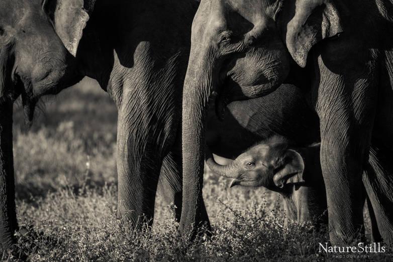 Newborn Sri Lankan Elephant
