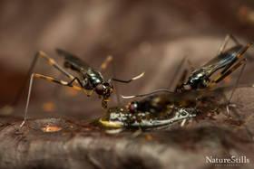 Long Legged Flies