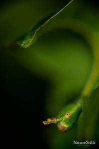 Grays leaf insect (Phyllium bioculatum)