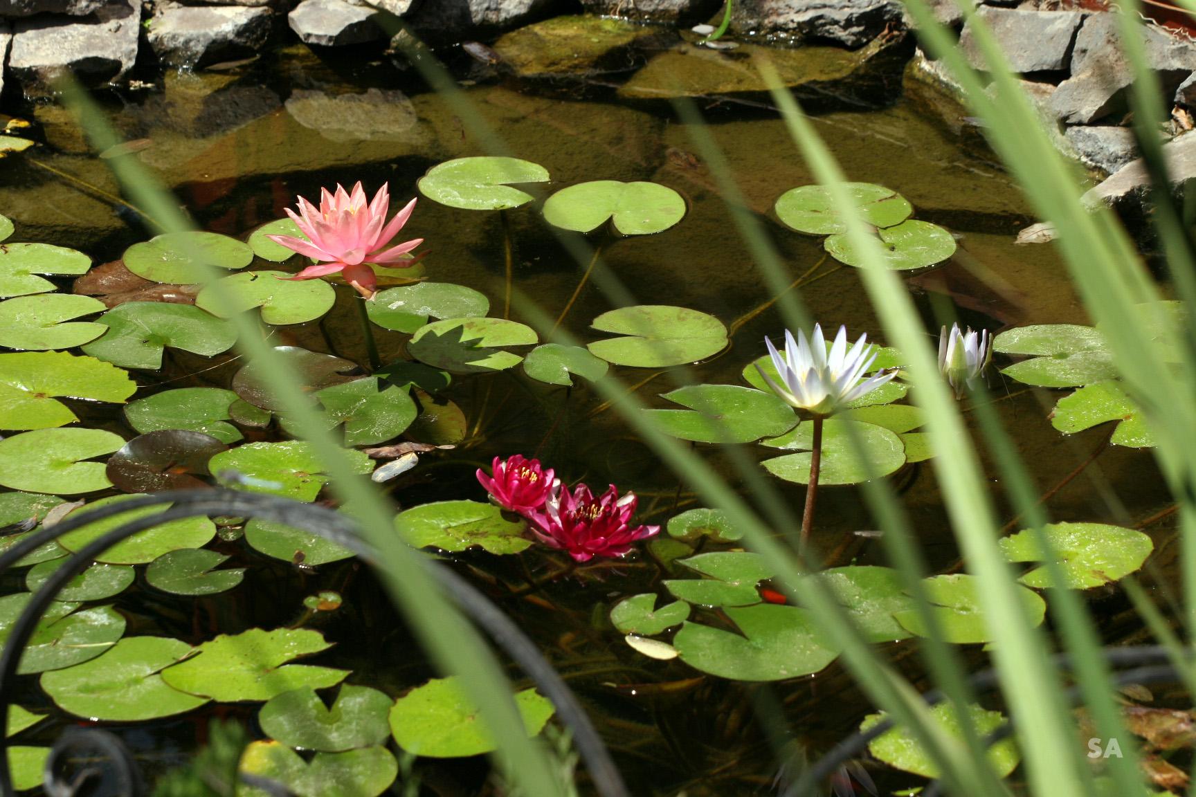 פרחי המים