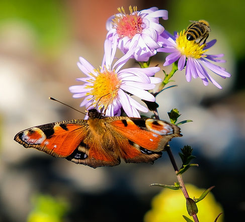 Butterfly on flower with Bee