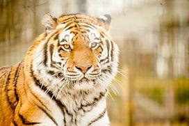 Amur Tiger  (17 of 26).jpg
