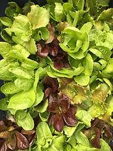 Lettuce 032420.jpg