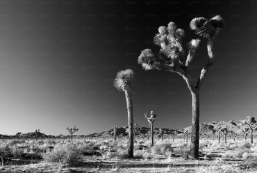 Joshua Tree Nationalpak