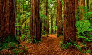Redwoods Forest, Whakarewarewa