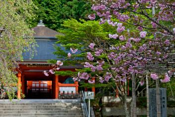 Kirschblüte - Wakayama / Koyasan