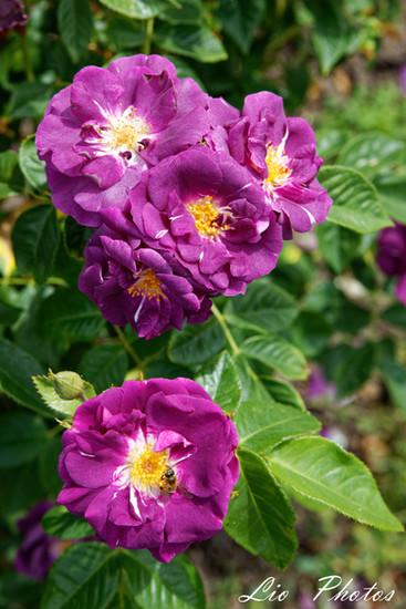 Rhapsody in Blue, Cowlishaw 2003