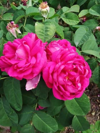 Rose de Resht, Linsay 1840
