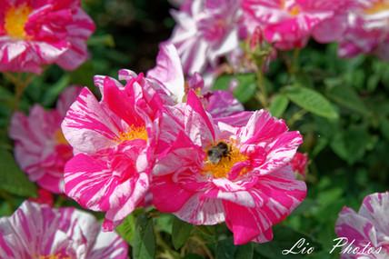Rosa gallica versicolor, 1583