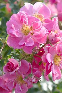 Bienenweide Rosa (1).jpg