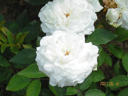 Polyantha.jpg