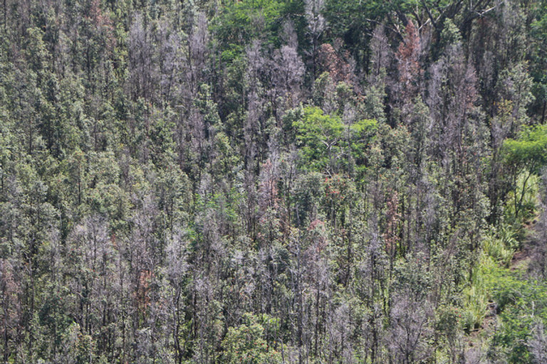 Ohia forest showing Rod