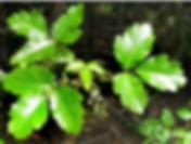 poison oak.png