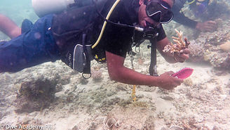 Coral Farming Viani Bay Rainbow Reef Fiji by Dive Academy Fiji